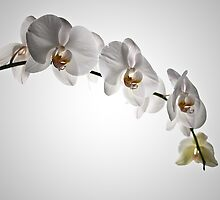 White Orchid by marz808