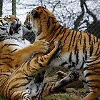 Tigers by Chris Edwards