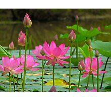 On Lotus Pond Photographic Print