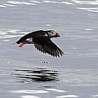 Icelandic Puffin by Marylou Badeaux