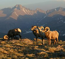 Bighorn Sheep and Longs Peak by Robert Yone