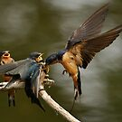 Swallows Feeding by Ken Haley