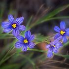 Blue-eyed grass by Celeste Mookherjee