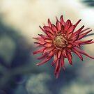 Red Dahlia Flower by Ross Jardine