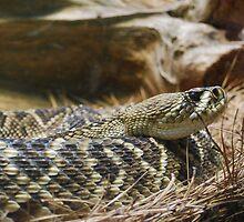 Eastern Diamondback Rattlesnake by Allison Rainey