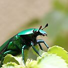 A christmas beetle by jack01