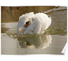 Swan with attitude Poster