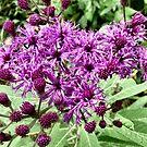 Iron weed (Vernonia gigantea) by Sheri Nye