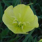 Night Blooming Evening Primrose by Navigator