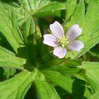 Little Wild Geranium by Navigator