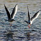 gulls at play 3 by photogenic