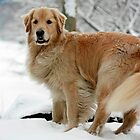 Golden Retriever by Marjorie Smith