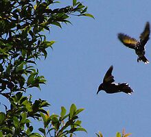 Two new Holland Honeyeaters in flight by georgieboy98
