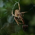 Garden Orb Weaver by Kezzarama