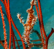 Harlequin Ghost Pipefish, Kimbe Bay, Papua New Guinea by Erik Schlogl