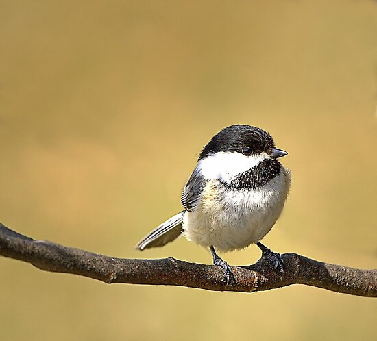 Black-capped Chickadee by BigD