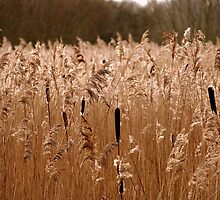 Reeds at Fowlmere by jayt47