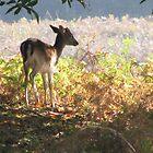 Deer In Sunshine by Dawn OConnor