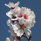 Almond blossom in spring (Tenerife) by Trine