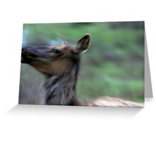 Elk Cow Alarmed Greeting Card