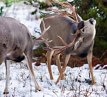 Mule Deer Buck Fight 3 by A.M. Ruttle