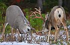 Mule Deer Buck Fight 4 by A.M. Ruttle