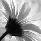 Gerbera  by Jenni Tanner