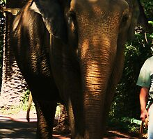 ELEPHANT - DAILY WALK by Marinapallett