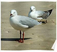 Silver Gull Australia Poster