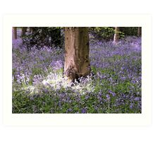 Carpet of Vibrant Purple Bluebells in a Sun Lit Wooded Forest Art Print