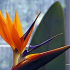Birds of Paradise (Closeup) by Dennis  Stanton