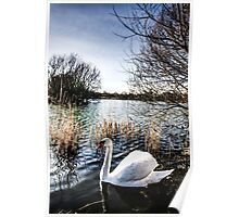 The Peaceful Swan Poster