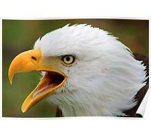 American Bald Eagle Calling Poster
