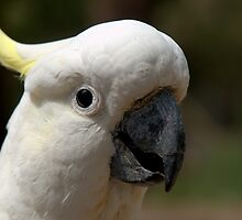 Sulphur Crested Cockatoo I by Tom Newman