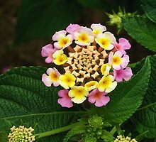 Fresh Lantana Flower Against Leaf Background by taiche