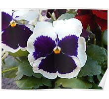 White Pansy Poster