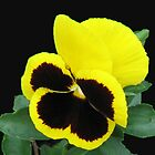 Lonesome - Yellow Blotch Pansy on Black Background by BlueMoonRose
