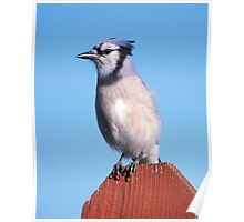 Blue Jay on My Fence  Poster