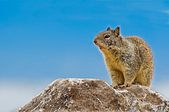 California Ground Squirrel, (Spermophilus beecheyi) by Eyal Nahmias