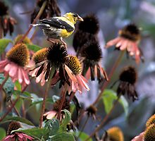 Gold Finch on My Echinacea  by Bill Spengler
