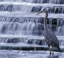 Great Blue Heron by Bill Spengler