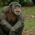 Chimpanzee Elder by Franco De Luca Calce