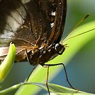 Varied Eggfly by Michael Fotheringham Portraits