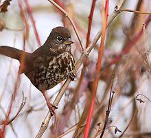 Fox Sparrow by Jillian Johnston