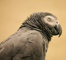 African Grey Parrot by Franco De Luca Calce