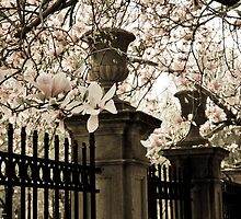 Magnolias in Bloom, Spring Comes to Boston's Back Bay by Richard VanWart