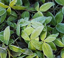 Frost on the sunbathing leaves. by SeasNatuPhotos