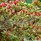 Tetragnathidae Web in Azalea - Cape Cod MA by MotherNature
