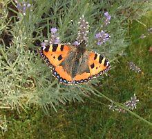 Butterfly on Lavender by Debz Kirk
