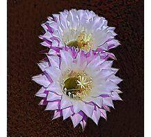 Cactus Flowers Photographic Print